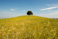 Single tree in wheat field Royalty Free Stock Photo