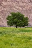 Single tree on the wheat field. With mountain background royalty free stock photography