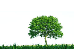 Single tree on white background. Tree with green leaves and green meadow stock photography
