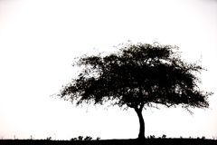 Single tree on white background. Black and white Royalty Free Stock Photography