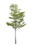 Single tree Royalty Free Stock Image
