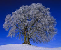 Single tree in  winter Stock Image