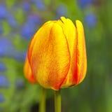 Single Trumpet Tulip Stock Images