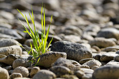 Single tuft of grass in stone desert. Concept for fight, hope, challenge, chance, optimism, overcoming obsticles, backlight Stock Images