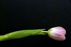 Single tulip Royalty Free Stock Image