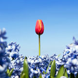 Single tulip Stock Photography