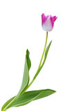 Single Tulip Stock Photo