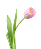 Single tulip Stock Image