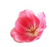 Single Tulip Stock Image