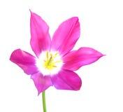 A single tulip Royalty Free Stock Photo