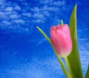 Single tulip on blue sky background Stock Photos