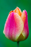 Single Tulip Bud Royalty Free Stock Photo
