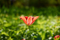 Single tulip on meadow Stock Images