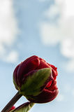 Single Tulip Royalty Free Stock Photos