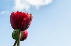 Single Tulip Stock Photos