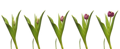 Single Tulip Time-lapse Royalty Free Stock Images
