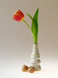 Single tulip in vase. Beautiful red/yellow tulip from the Netherlands in a vase with walnuts on the side Stock Photo