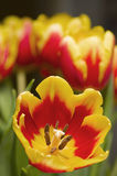 Single tulip yellow and red Stock Images