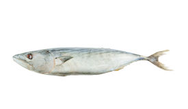 Single tuna fish isolated Stock Photos