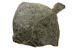 Single turbot isolated on white. Background Stock Photo