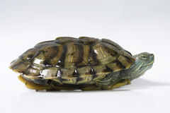 Single Turtle Stock Image