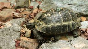 Single Turtle stock video