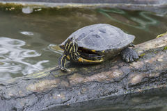 Single Turtle on a tree trunk in water Stock Photos
