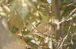 A turtledove perched in a tree. A single turtledove in a branch cleaning herself Stock Images