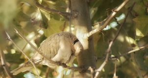 A turtledove perched in a tree. A single turtledove in a branch cleaning herself Stock Photo
