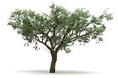 Single Ucla Tree Stock Images