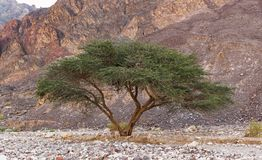 Umbrella Acacia in the Eilat Mountains of Israel. A single umbrella thorn acacia in the eilat mountains of israel with a red rocky mountain slope in the stock image