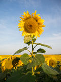Single vertical sunflower against the sky and field Royalty Free Stock Images