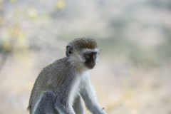 Single Vervet Monkey or Chlorocebus pygerythrus, portrait facing right stock image