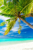 Single vibrant coconut palm tree on a tropical beach Stock Photography