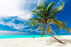 Single vibrant coconut palm tree on a white tropical beach, Mald. Single vibrant coconut palm tree on a white tropical beach of Maldives Royalty Free Stock Photo
