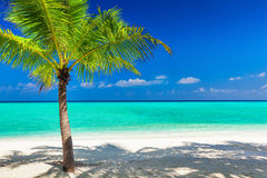 Single vibrant coconut palm tree on white tropical beach of Mald Stock Images