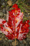 Single, vibrant, red maple leaf on the ground, northern Maine. Stock Image