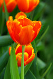 Single vibrant tulip Stock Photography