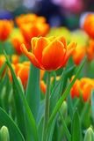 Single vibrant tulip Royalty Free Stock Image