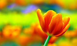 Single vibrant tulip Stock Image