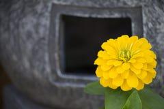 Bright Yellow Zinnia Fall Flower Royalty Free Stock Photography