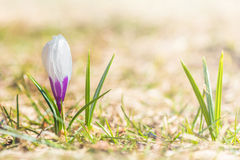 Single violet crocus on the grass. Selective focus Royalty Free Stock Images