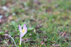 Single violet crocus royalty free stock image
