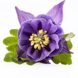 Single violet  flower of Aquilegia vulgaris isolated on white background Royalty Free Stock Image