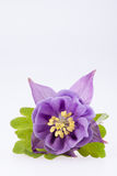 Single violet  flower of Aquilegia vulgaris on white background Stock Photos