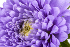 Single violet flower of aster isolated on white background Royalty Free Stock Image