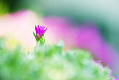 Single Violet flowers Stock Photography