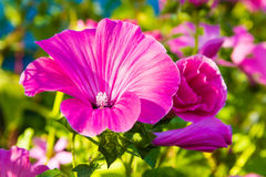 Single violet Flowers. Royalty Free Stock Photo
