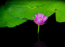 Single violet water lily lotus flower Stock Photo