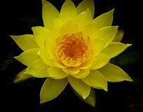 Free Single Vivid Yellow Lotus Flower In Full Bloom Against Dark Background Stock Photography - 101724982
